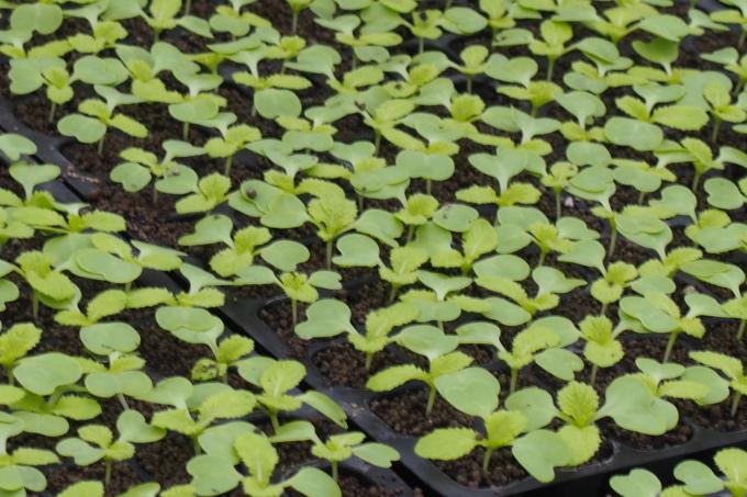 農園の白菜_b0106766_13535273.jpg