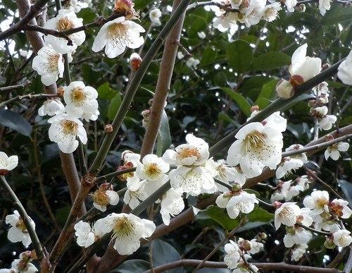 路傍の花、樹々の鳥(371) ~ 梅ストリートで ~_b0102572_12104758.jpg