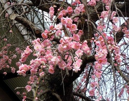 路傍の花、樹々の鳥(371) ~ 梅ストリートで ~_b0102572_12111612.jpg