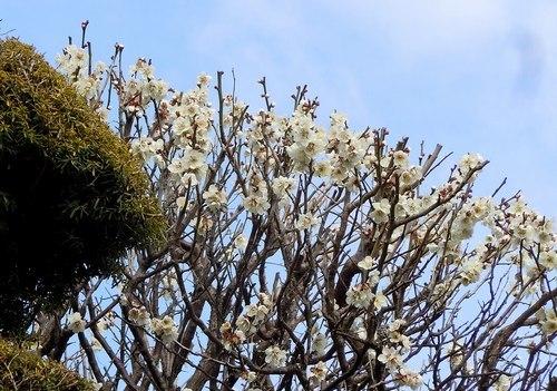 路傍の花、樹々の鳥(371) ~ 梅ストリートで ~_b0102572_12124672.jpg