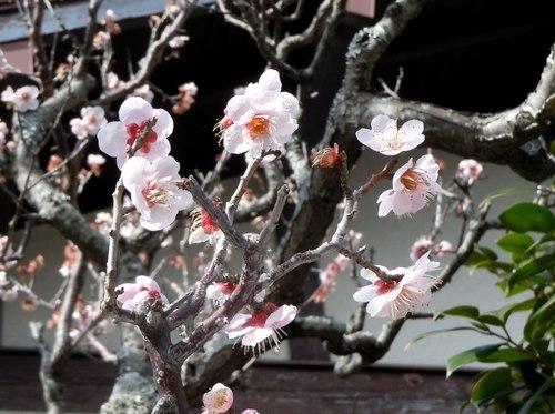 路傍の花、樹々の鳥(371) ~ 梅ストリートで ~_b0102572_12130800.jpg