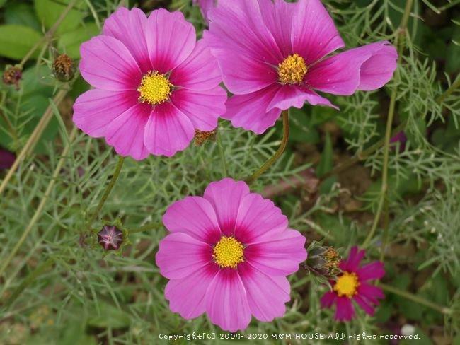 ひまわりとコスモスと桜♪_c0139375_1601567.jpg