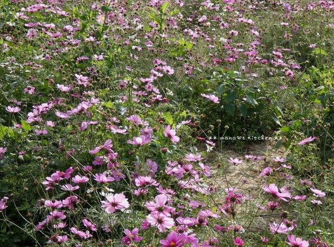 ひまわりとコスモスと桜♪_c0139375_160327.jpg