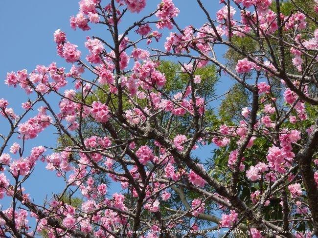 ひまわりとコスモスと桜♪_c0139375_1611312.jpg