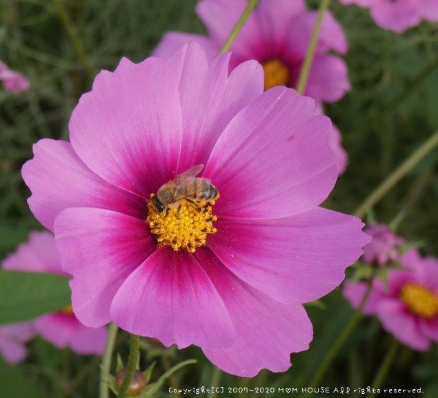 ひまわりとコスモスと桜♪_c0139375_1622133.jpg