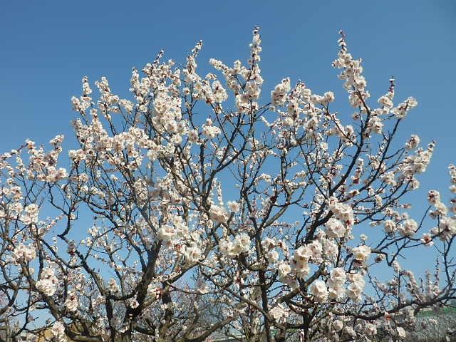 梅のかほりをもとめて。_e0378686_17573617.jpg