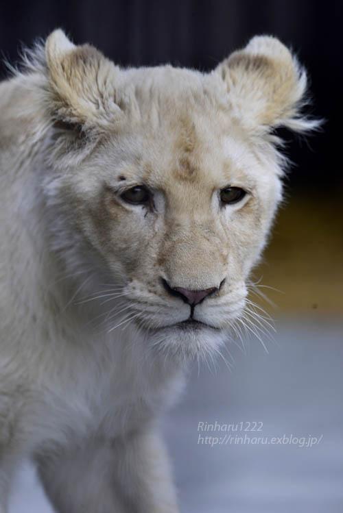 2020.1.4 東北サファリパーク☆ホワイトライオンのイチゴちゃん【White lion】_f0250322_20375277.jpg