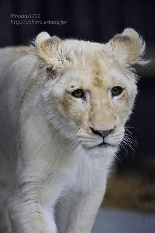 2020.1.4 東北サファリパーク☆ホワイトライオンのイチゴちゃん【White lion】_f0250322_20375899.jpg