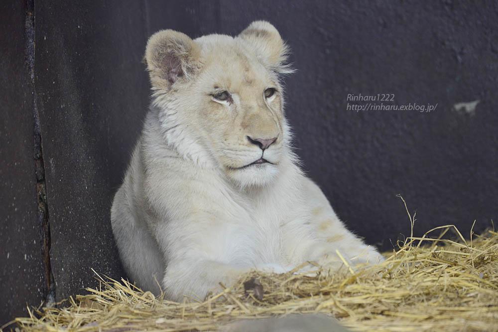 2020.1.4 東北サファリパーク☆ホワイトライオンのイチゴちゃん【White lion】_f0250322_20381050.jpg
