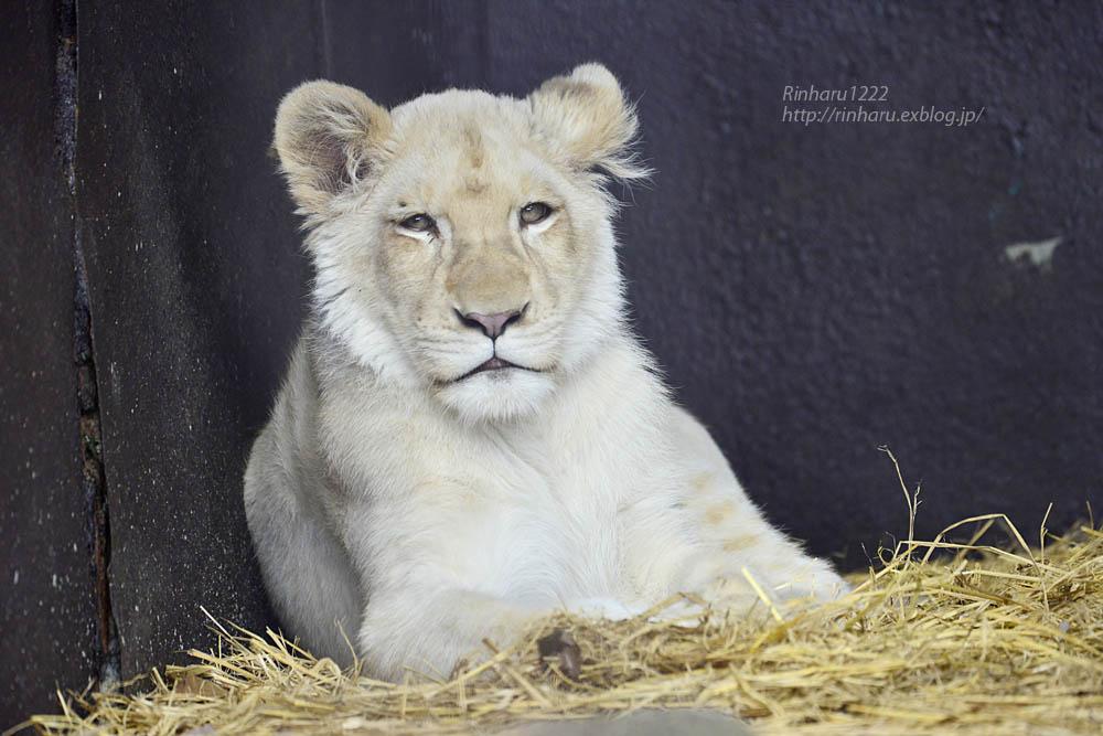 2020.1.4 東北サファリパーク☆ホワイトライオンのイチゴちゃん【White lion】_f0250322_20381537.jpg