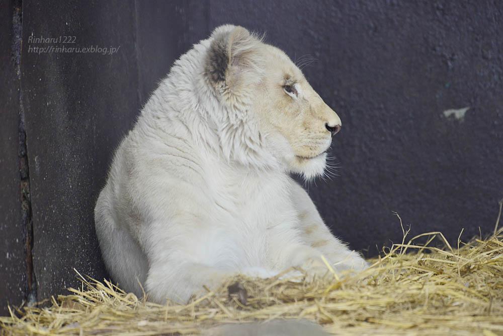2020.1.4 東北サファリパーク☆ホワイトライオンのイチゴちゃん【White lion】_f0250322_2038450.jpg