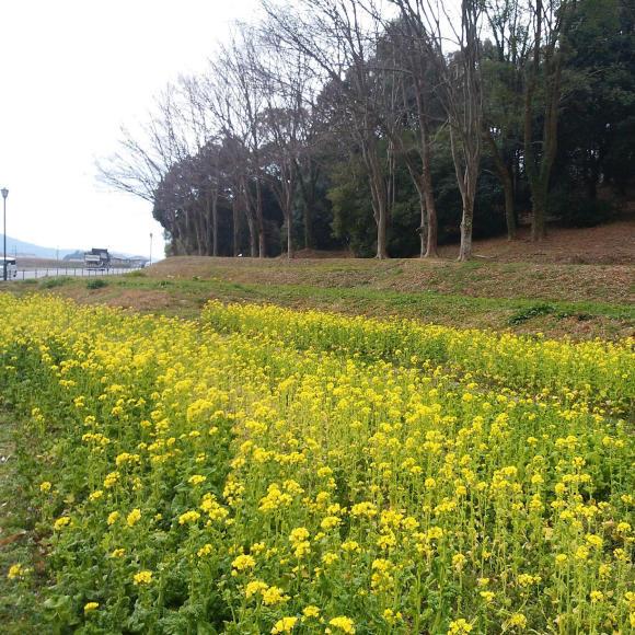 菜の花畑_f0343531_23490596.jpg