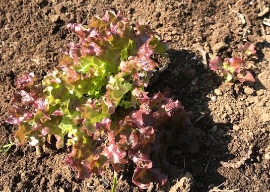 不思議、昨年種を蒔いたサニーレタス発芽2・21_c0014967_07121685.jpg