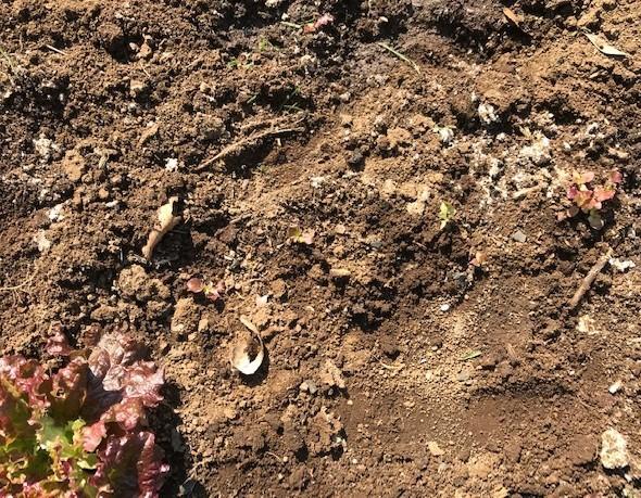 不思議、昨年種を蒔いたサニーレタス発芽2・21_c0014967_07132589.jpg