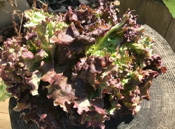 不思議、昨年種を蒔いたサニーレタス発芽2・21_c0014967_07134772.jpg