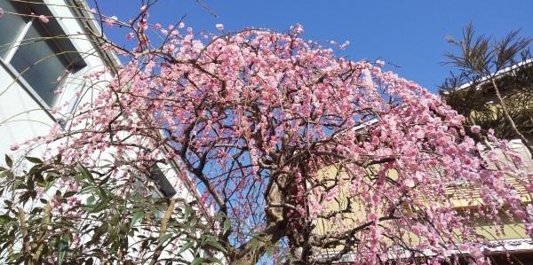 0℃の朝 🌞 配達を終えて 😊 今日は1日会議ざんまい 📝 お友達の家でとっても可愛いミモザの花 💑_f0061067_22010715.jpg