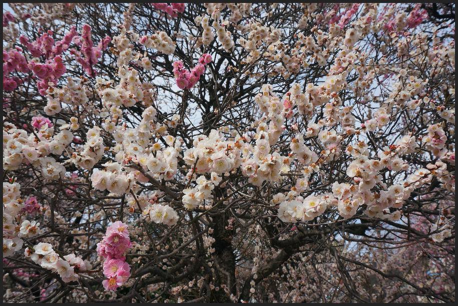 小村井 香取神社・香梅園_b0340572_10474649.jpg