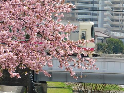 早咲きの桜が咲き始めました@調布_c0338136_21320314.jpg
