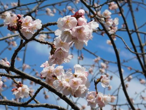 早咲きの桜が咲き始めました@調布_c0338136_21340937.jpg
