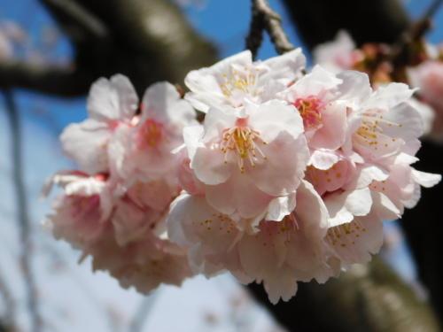 早咲きの桜が咲き始めました@調布_c0338136_21342029.jpg