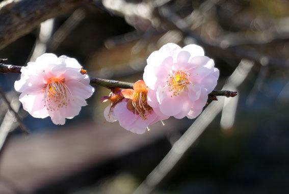 柔らく咲いたしだれ梅_b0145296_09120289.jpg