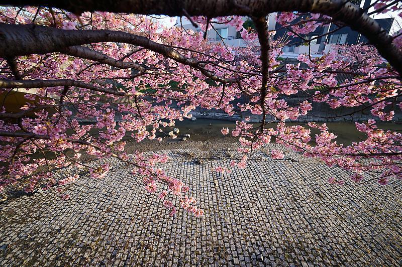 咲き急ぐ春の花達 河津桜@淀水路_f0032011_21400113.jpg