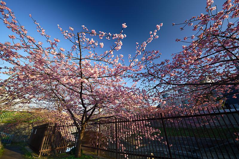 咲き急ぐ春の花達 河津桜@淀水路_f0032011_21400147.jpg