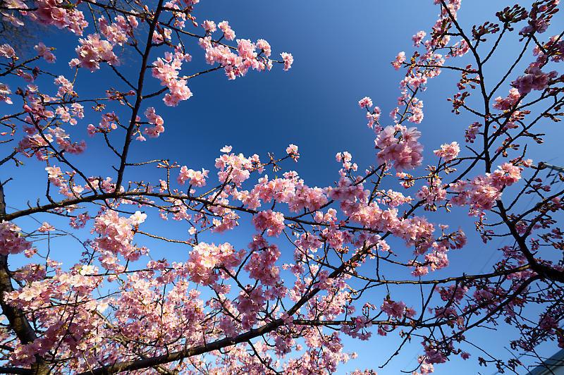 咲き急ぐ春の花達 河津桜@淀水路_f0032011_21400160.jpg