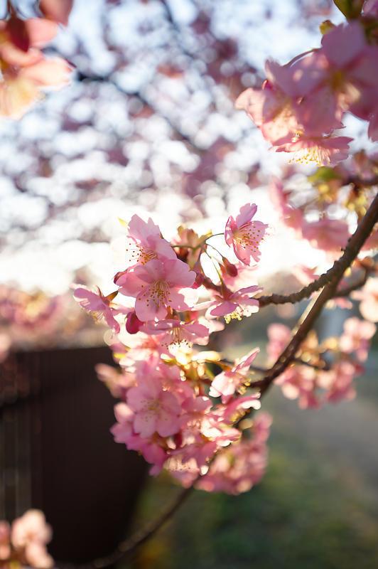 咲き急ぐ春の花達 河津桜@淀水路_f0032011_21400193.jpg