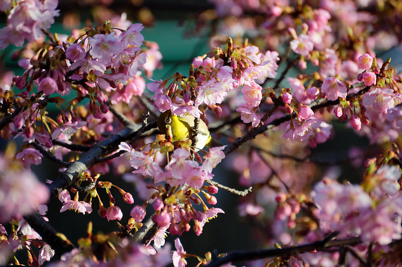 咲き急ぐ春の花達 河津桜@淀水路_f0032011_21400251.jpg