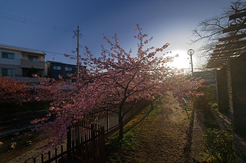 咲き急ぐ春の花達 河津桜@淀水路_f0032011_21400275.jpg