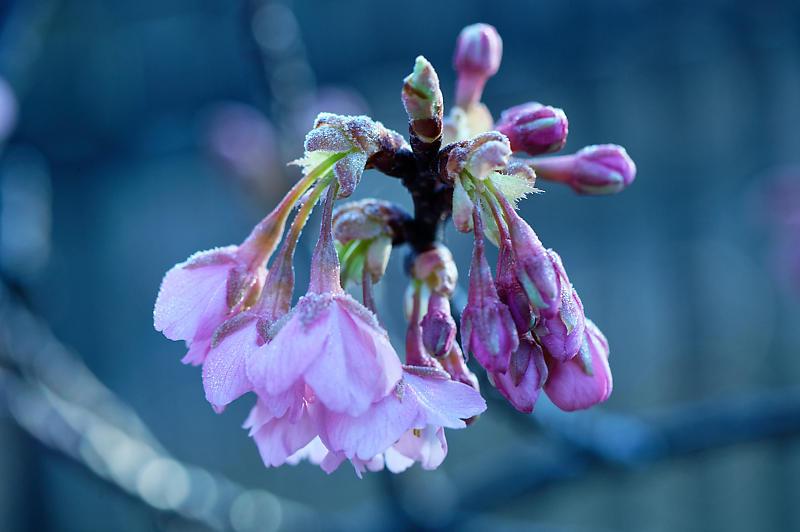 咲き急ぐ春の花達 河津桜@淀水路_f0032011_21432013.jpg