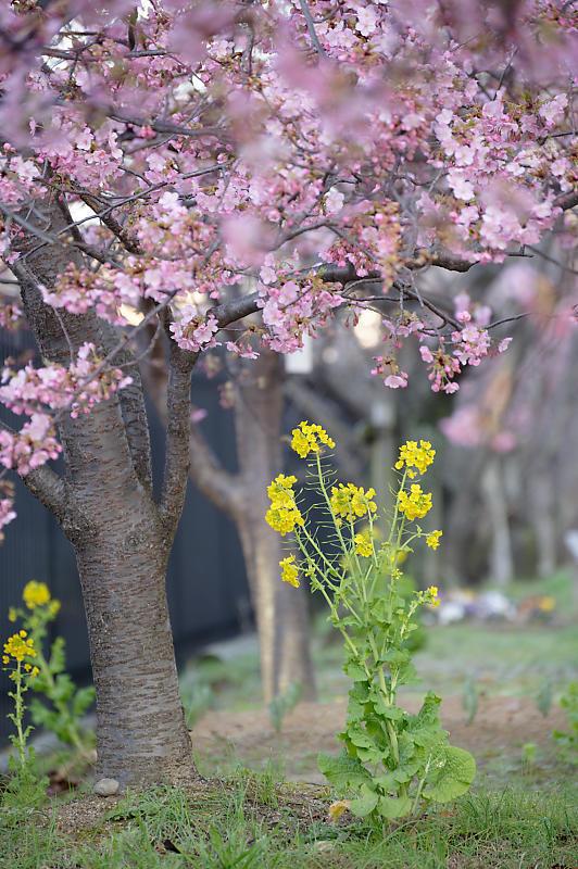 咲き急ぐ春の花達 河津桜@淀水路_f0032011_21451525.jpg