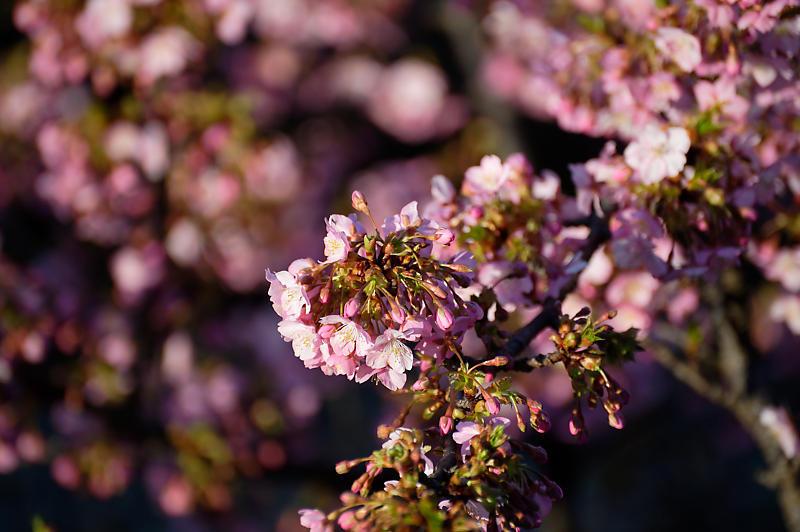 咲き急ぐ春の花達 河津桜@淀水路_f0032011_21481272.jpg