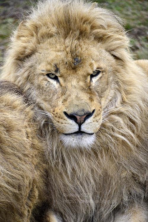 2020.2.22 岩手サファリパーク☆肉食動物探検バスツアー~茶獅子のアトム、ヒロム、エアル、バハル編_f0250322_18353960.jpg