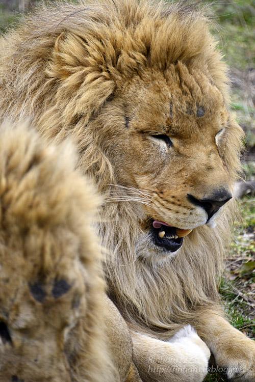 2020.2.22 岩手サファリパーク☆肉食動物探検バスツアー~茶獅子のアトム、ヒロム、エアル、バハル編_f0250322_18355762.jpg