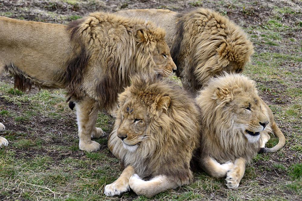 2020.2.22 岩手サファリパーク☆肉食動物探検バスツアー~茶獅子のアトム、ヒロム、エアル、バハル編_f0250322_18361371.jpg