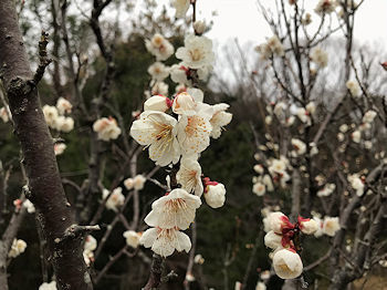 梅の花_e0103024_09403980.jpg