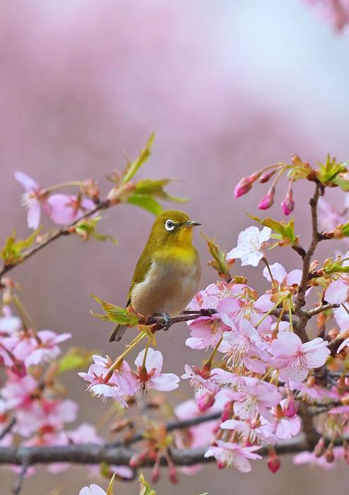 河津桜にメジロ Ⅱ_d0290240_13283581.jpg