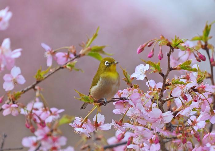 河津桜にメジロ Ⅱ_d0290240_13284404.jpg