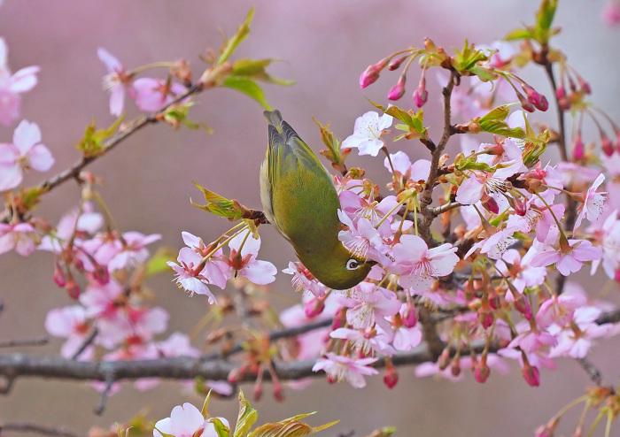 河津桜にメジロ Ⅱ_d0290240_13285443.jpg