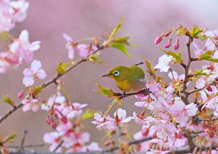 河津桜にメジロ Ⅱ_d0290240_13290267.jpg