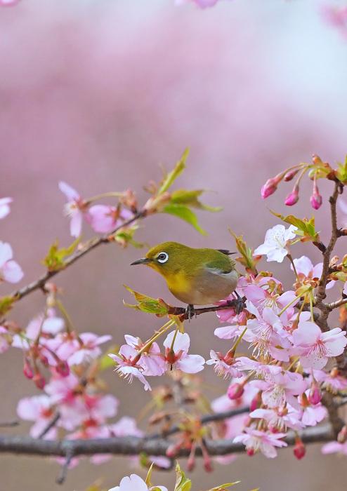 河津桜にメジロ Ⅱ_d0290240_13291184.jpg