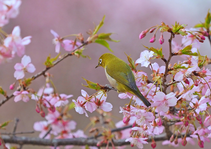 河津桜にメジロ Ⅱ_d0290240_13292105.jpg
