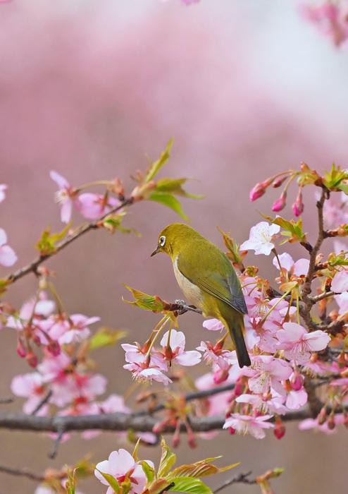 河津桜にメジロ Ⅱ_d0290240_13295703.jpg