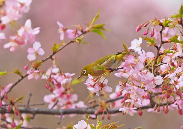 河津桜にメジロ Ⅱ_d0290240_13301023.jpg