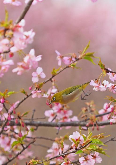 河津桜にメジロ Ⅱ_d0290240_13302215.jpg