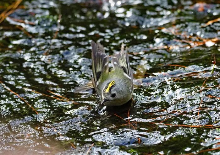 水浴びするキクイタダキ Ⅲ_d0290240_16594557.jpg
