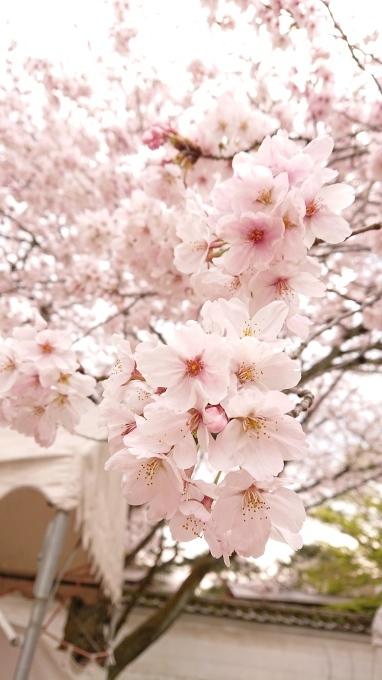 桜_d0010742_23043414.jpg