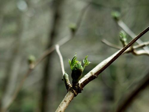 針畑の春告げ、花や山菜・・・そして、スギ花粉_d0005250_17355888.jpg